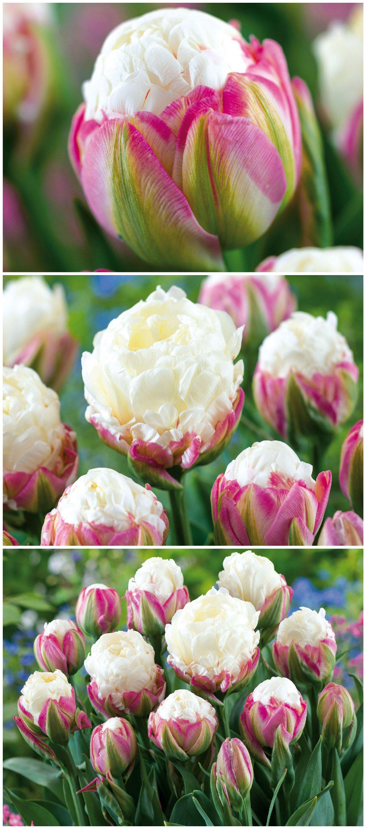 Atemberaubend Schon Und Aussergewohnlich Sind Die Bluten Der Gefullten Spaten Tulpen Ice Cream Gefunden Auf Www Tom Garten De Tulpen Tom Garten Gartenarten