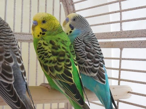 2 Hours Nature Sounds  Parakeets Budgies Birds Chirping