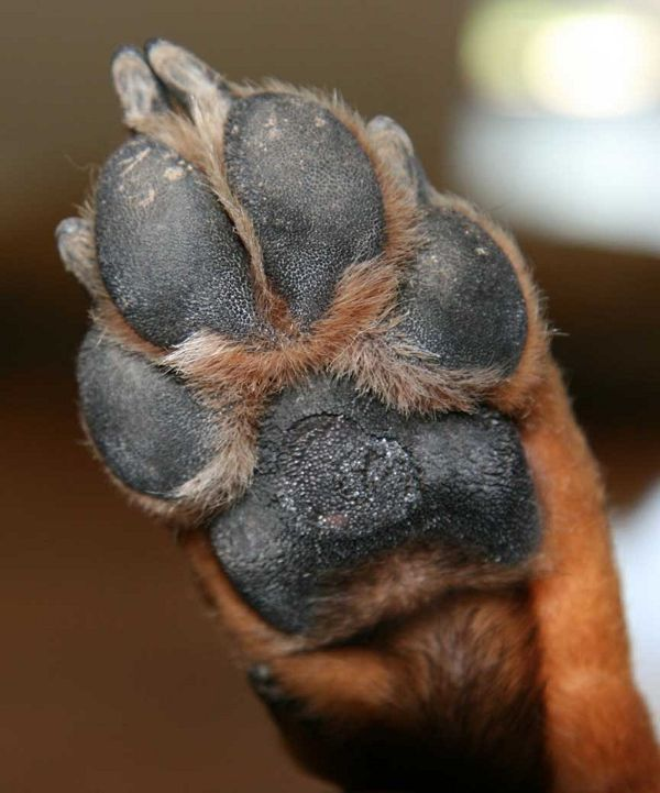 real dog paw wwwpixsharkcom images galleries with a