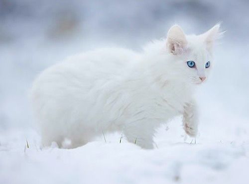 White-Cats-With-Blue-Eyes