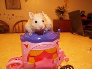 Inland Empire For Sale Hamsters Craigslist Hamster Pets Empire