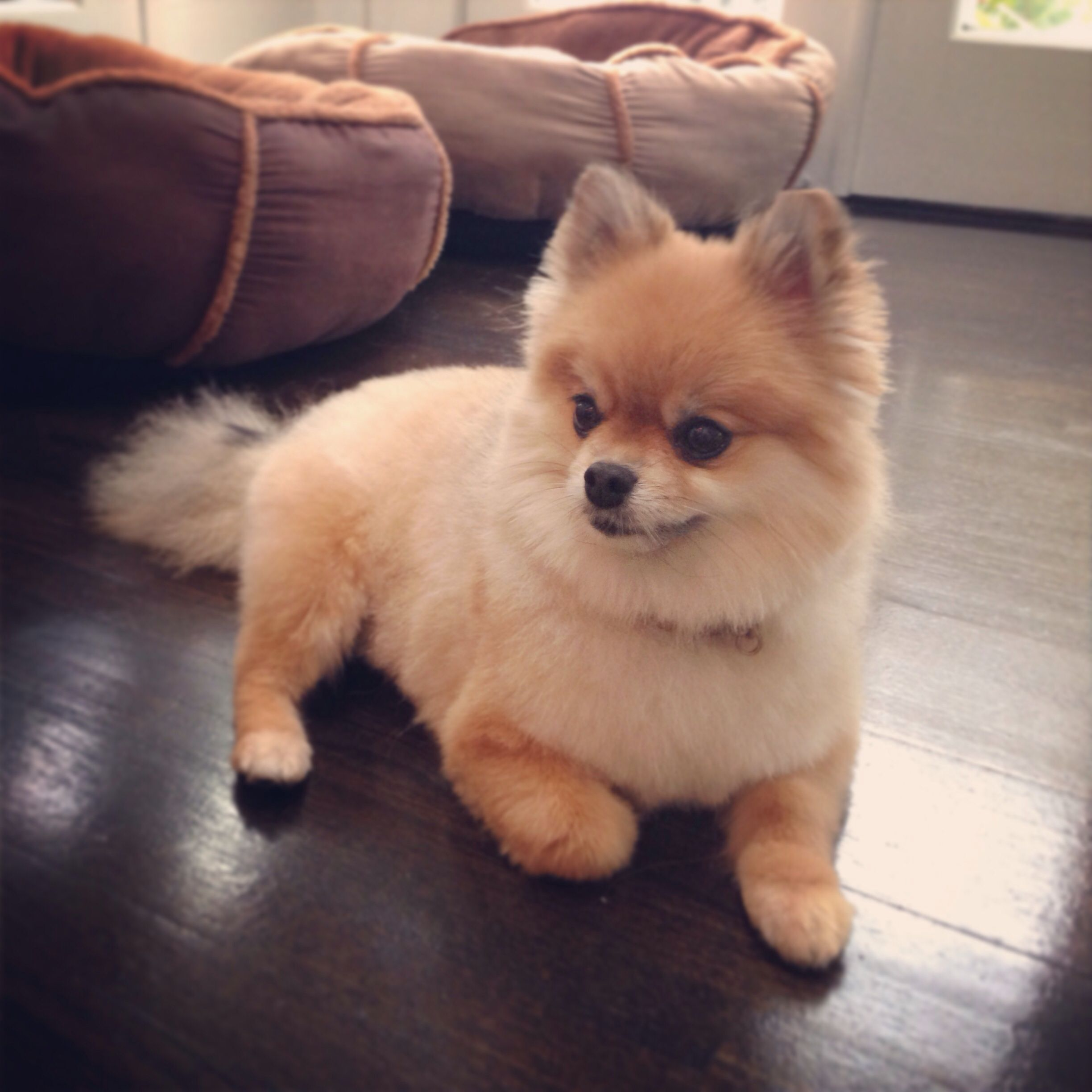 Teddy Needs A Friend Like This Pomeranian Haircut Pomeranian Teddy Bear