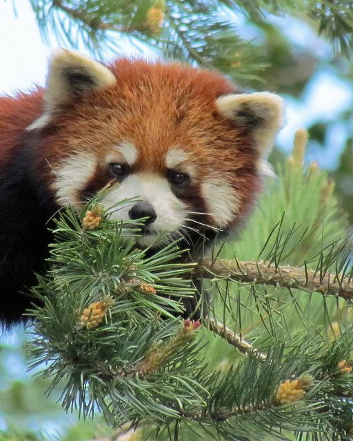 I See You (With images) Red panda, Cute animal photos