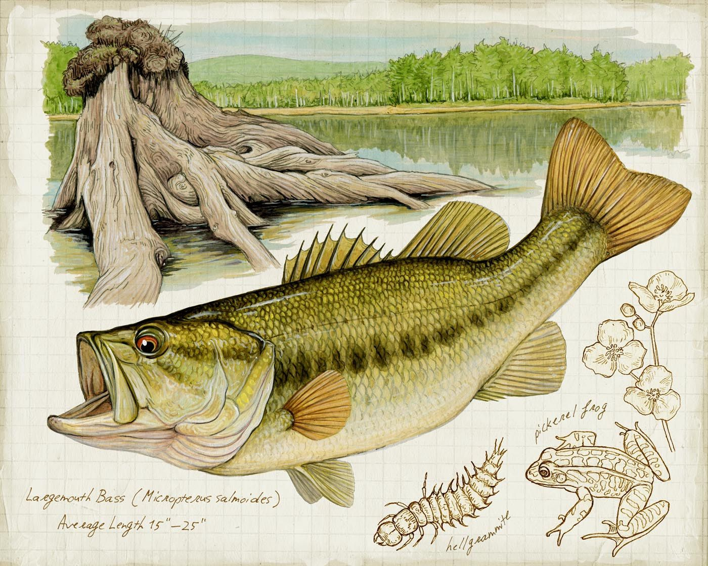 LARGEMOUTH BASS This limited edition fish print is of an acrylic and ...