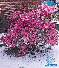Rhododendron praecox 'Alpenrose': 100cm hoch, 120cm breit, Sonne bis Halbschatten