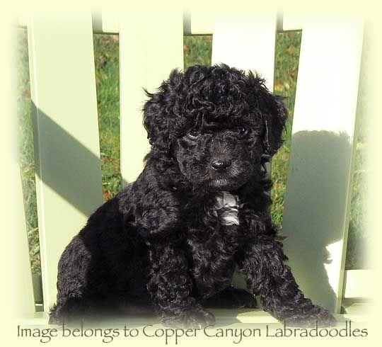 Mini Black Labradoodle Black Labradoodle Australian Labradoodle Puppies Black Puppy