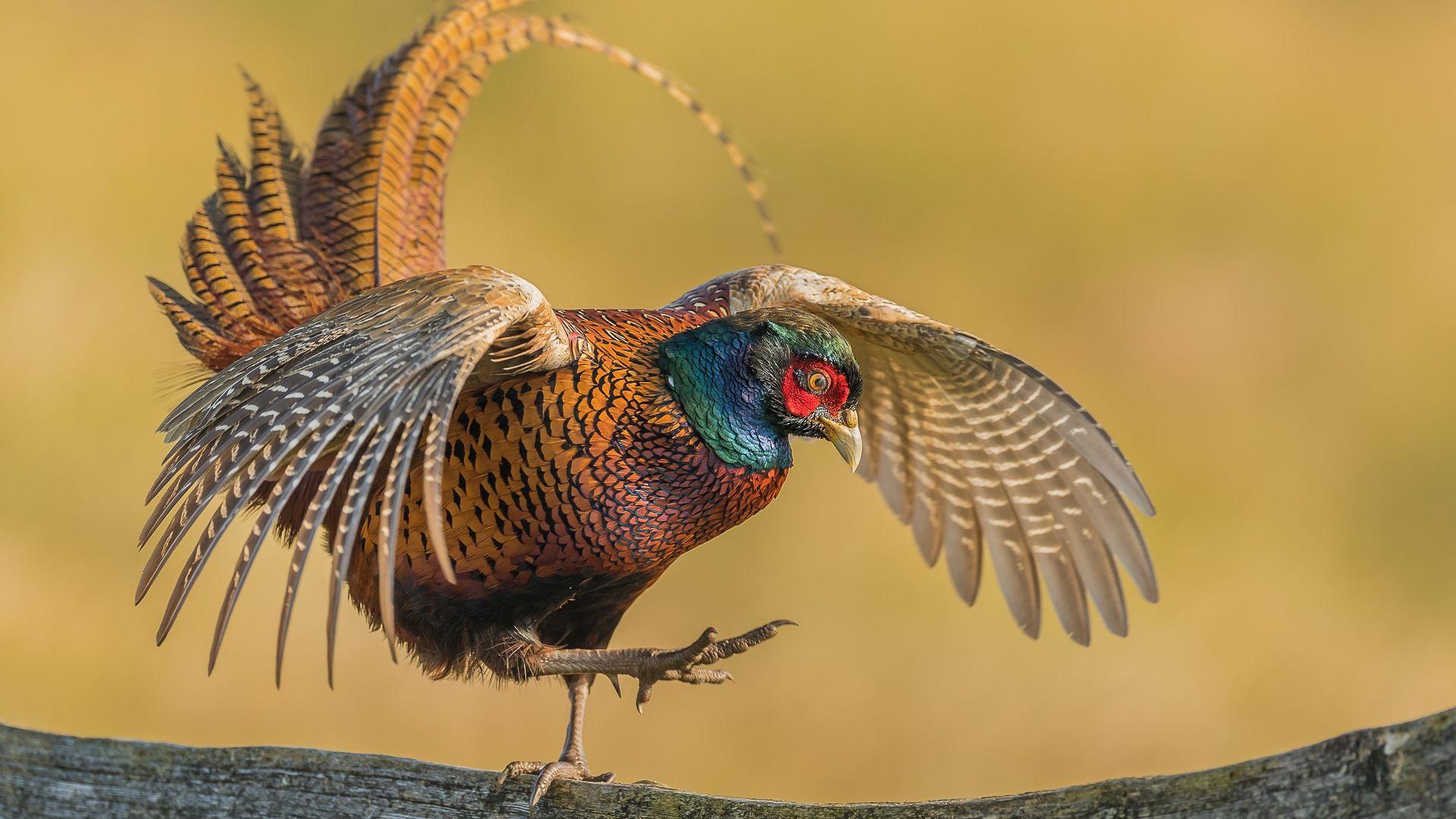 Fasan Spiekerooger Zauntanzer Photographed By Sharkingo Fasan Natur Tiere Vogel Kunst