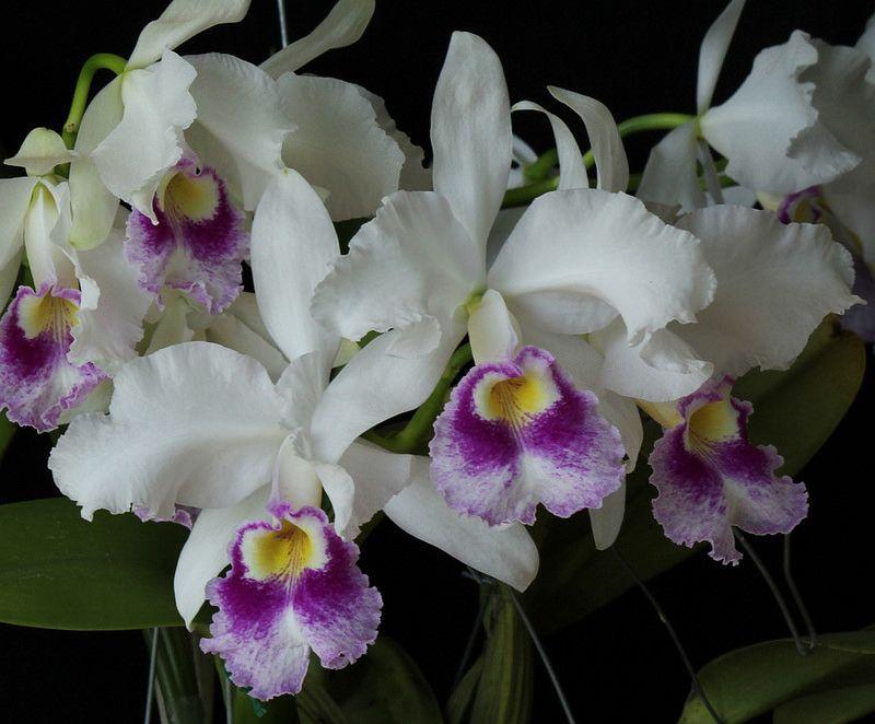 Cattleya Warszewiczii Orquideas Botanica Fotos