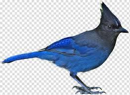 Bird Blue Jay Steller S Jay Blue Bird Transparent Background Png Clipart Hiclipart Blue Jay Blue Bird Watercolor Parrot