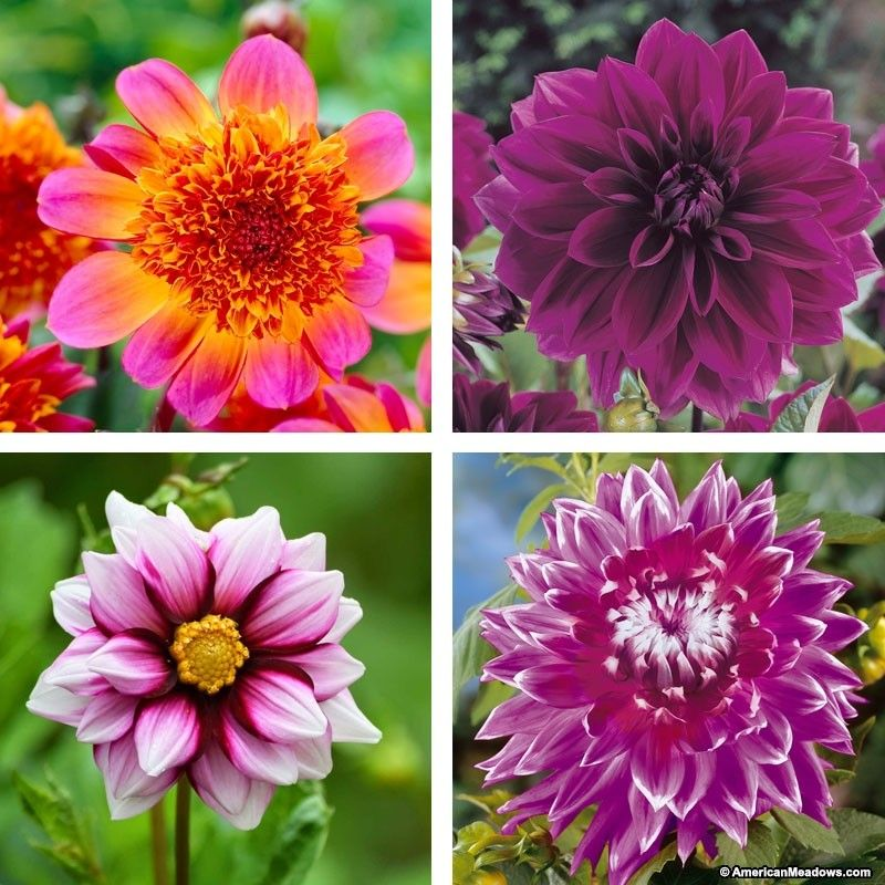Purple Paradise Mixed Dahlia Collection Bulb Flowers Wildflower Seeds Growing Dahlias