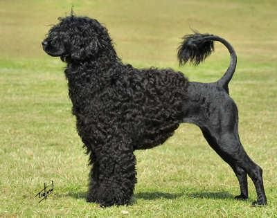 Portuguese Water Dog Pet Dog Pictures Portuguese Water Dog