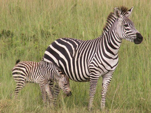 Awwww I Love Zebrad Animals Wild Zebras Beautiful Horses