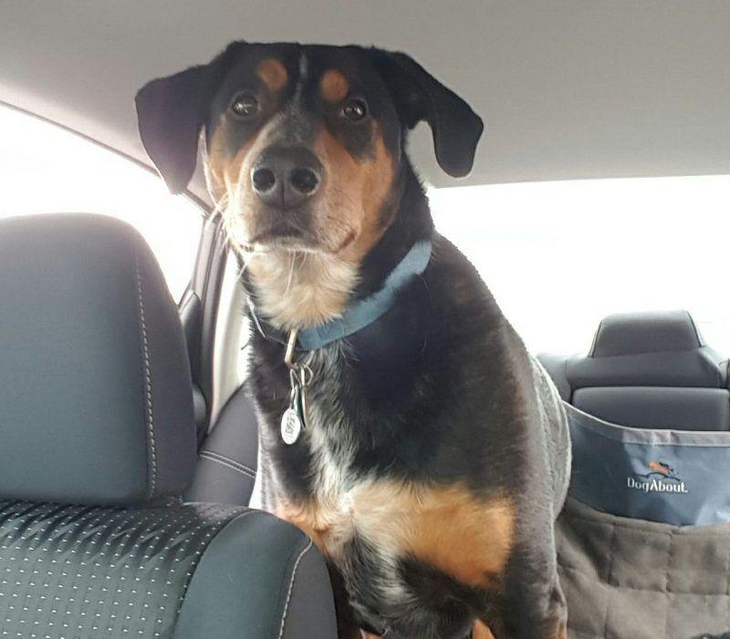 Cleveland Oh Rottweiler Labrador Retriever Mix For Adoption With Supplies Rottweiler Lab Mixes Dog Adoption Rottweiler