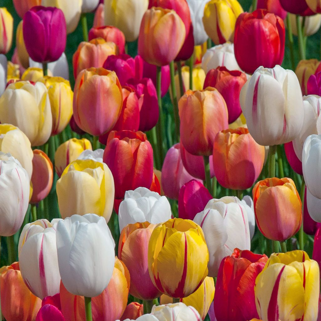 All Tulips Dutch Flower Bulbs at wholesale prices