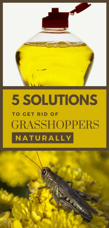 6683a88ea01166e34202d733cb9f7f4b - How To Get Rid Of Grasshoppers On My Plants