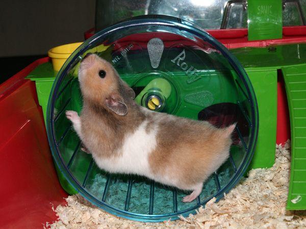 De Site Over De Syrische Hamster Small Pets Pet Rodents Syrian Hamster