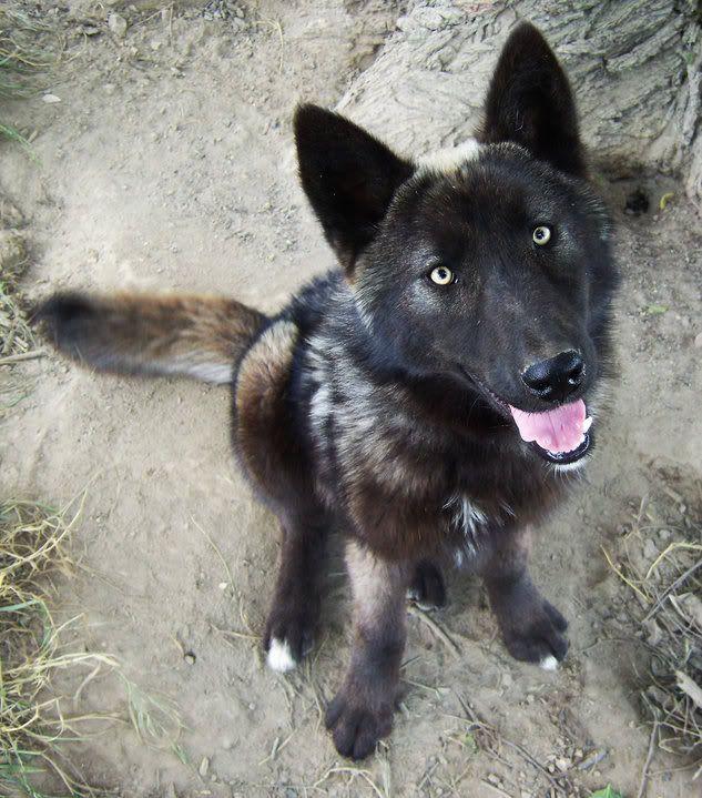German Shepherd Wolf Mix | This dog is fkn beautiful (no