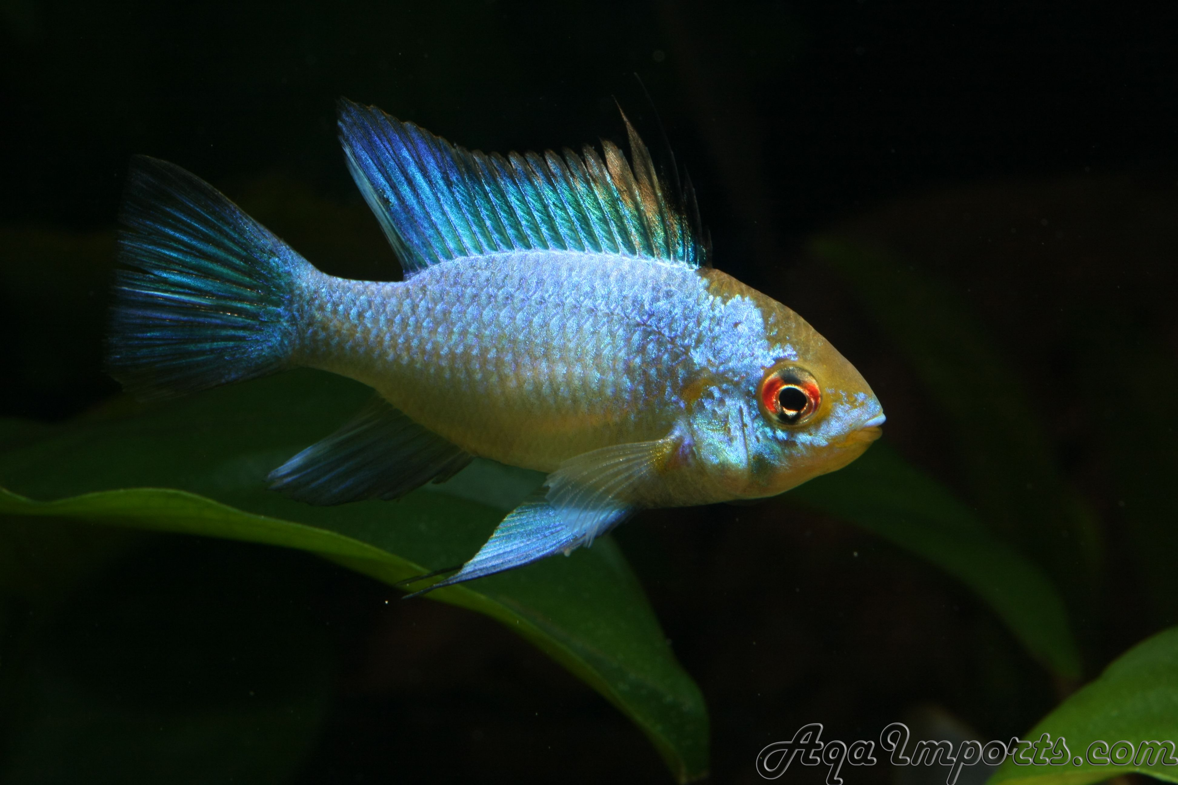Freshwater aquarium fish gobiidae - Electric Blue Ram