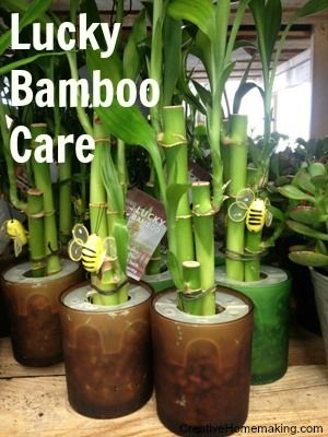 Lucky Bamboo Care With Images Lucky Bamboo Care Bamboo Care