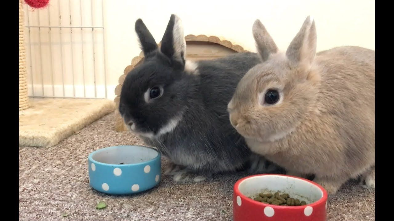 Morning Feeding Time Netherland Dwarf Rabbits Full Grown Size Netherland Dwarf Bunny Netherland Dwarf Dwarf Rabbit