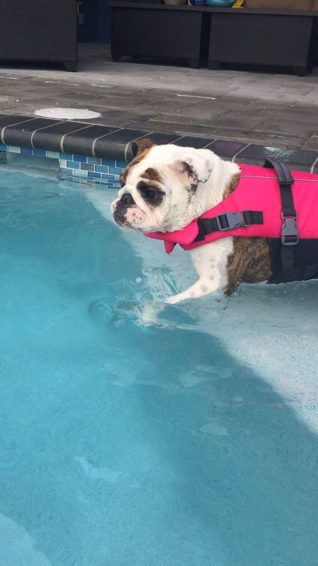 bulldog charlie swimming with life vest animals pinterest