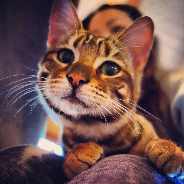 Oh hi there! #toyger #cats #neko #chat #gato #cute #animals