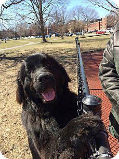 Boston, MA - Newfoundland. Meet LUNA, a dog for adoption. http://www.adoptapet.com/pet/11039320-boston-massachusetts-newfoundland