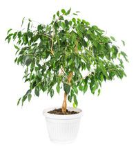 ficus houseplants care