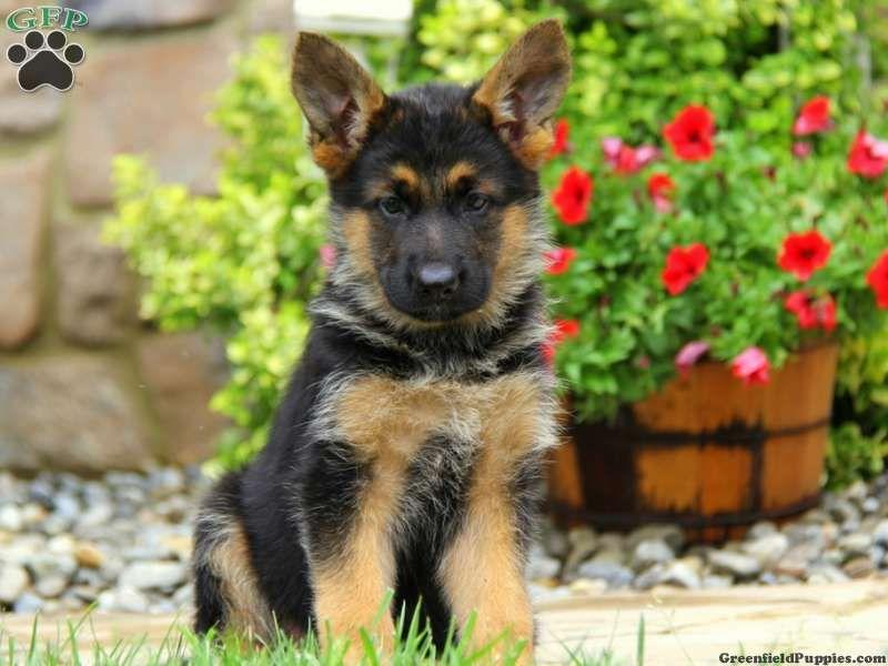 German Shepherd Puppies For Sale In PA German shepherd