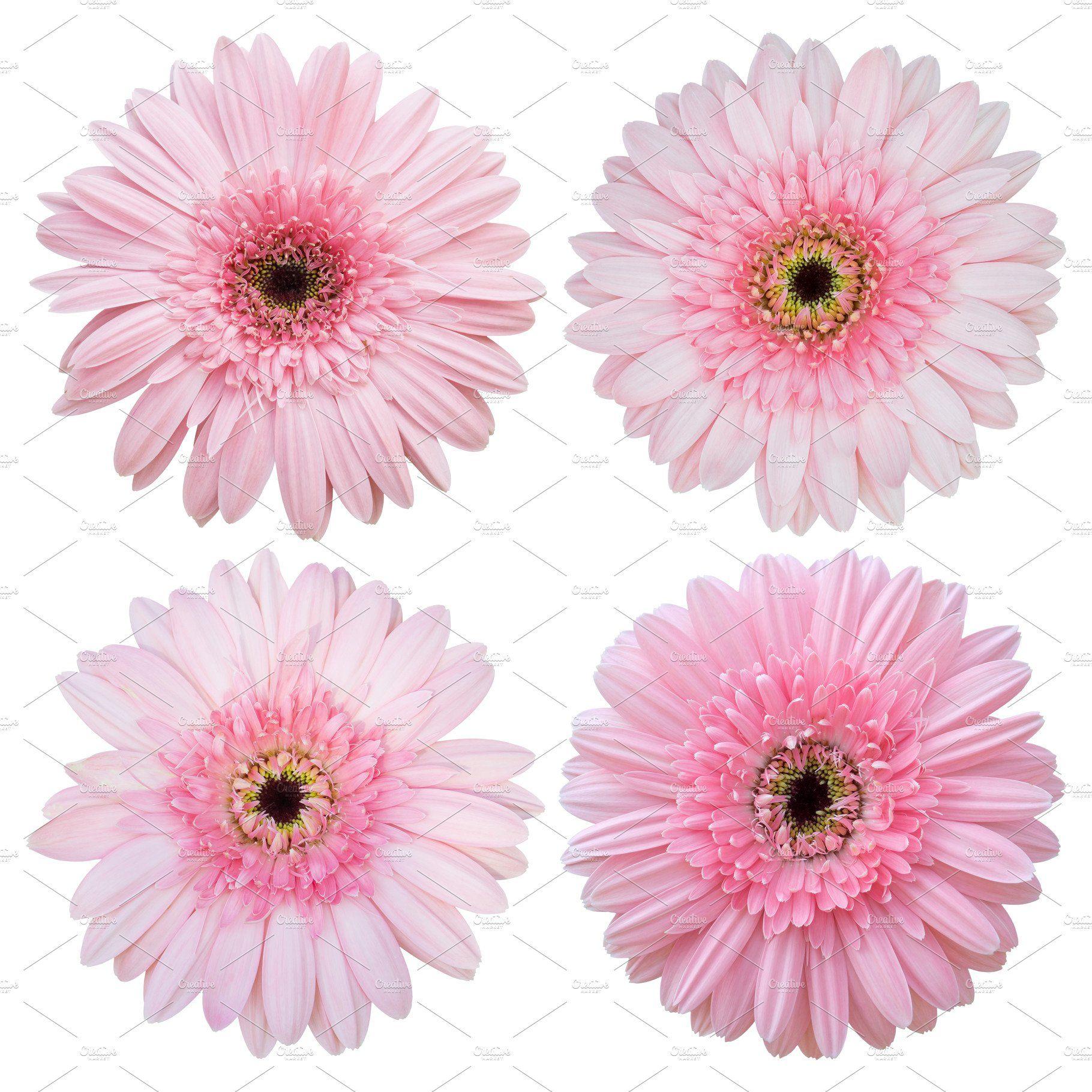 Set Of Pink Gerbera Flower Gerbera Flower Pink Gerbera Gerbera