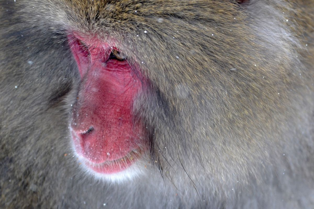 Japanese Snow Monkey Braving the Winter
