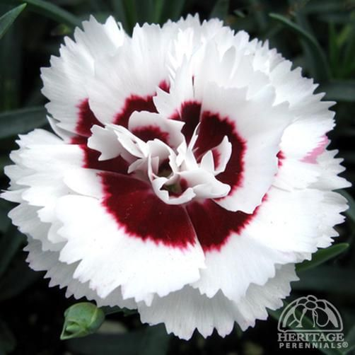 Pin By Tis I Twistedchameleon On Guide To Gardening Plants Dianthus Perennial Perennials