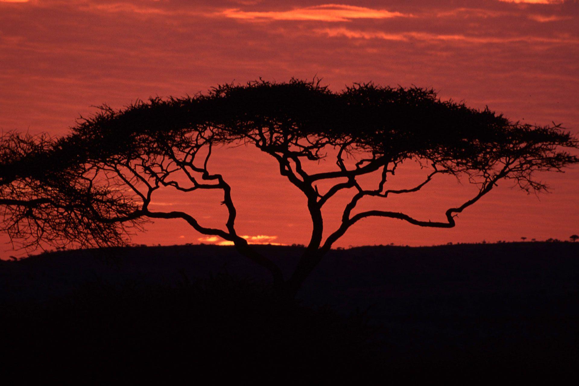 Umbrella Acacia (Acacia tortilis), Serengeti National Park, Tanzania. African sunset.