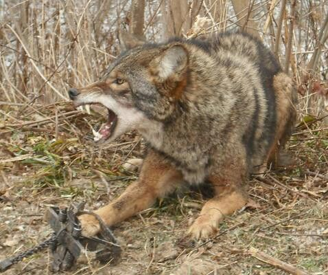 Coyotes and wolves are normally only aggressive when they feel threatened. Trapping a wolf or coyote would easily provoke this behavior. Wolf trappers often take pictures of the snarling head and leave the trapped foot out of the photo.