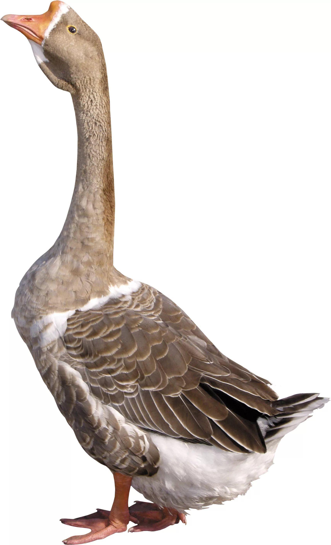 птицы на белом фоне для фотошопа: 14 тыс изображений ...