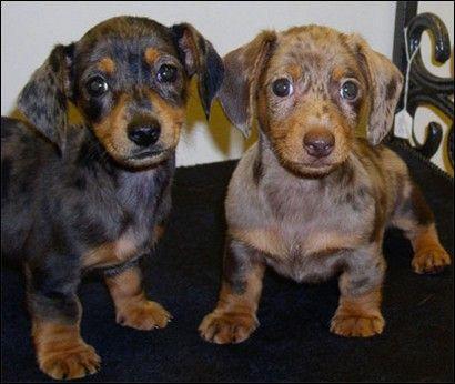 Cute #dachshund #puppy I want this mini dachshund puppy so bad!