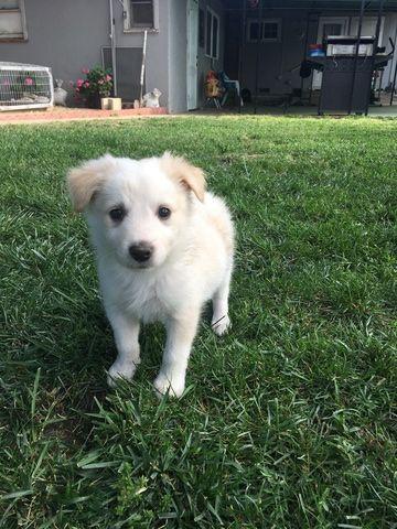 Litter Of 8 Border Collie Puppies For Sale In Bakersfield Ca Adn 28935 On Puppyfinder Com Gender Male S Puppies For Sale Border Collie Puppies Border Collie