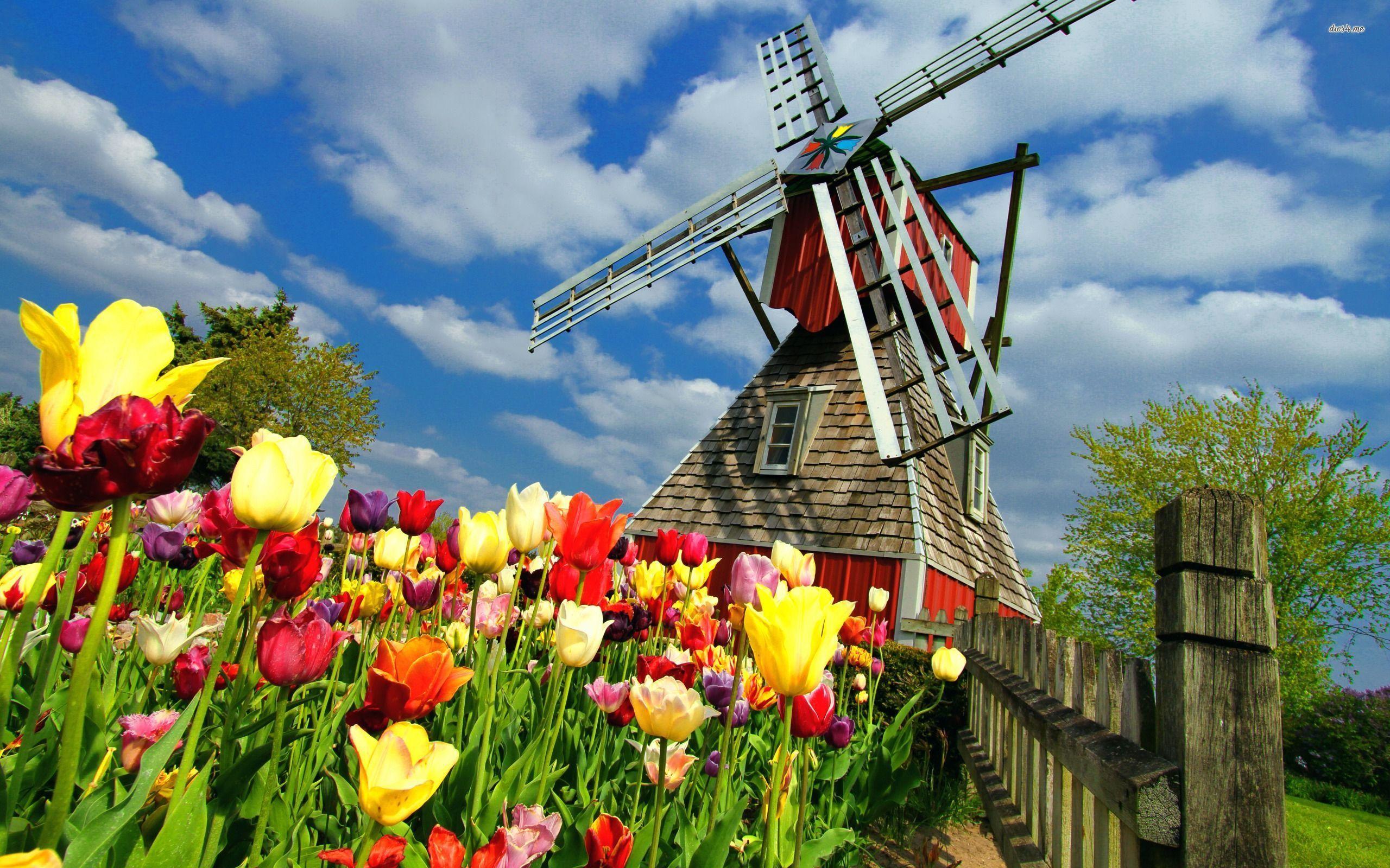 Windmill And Tulips Hd Wallpaper Dutch Windmills Windmill Holland Windmills