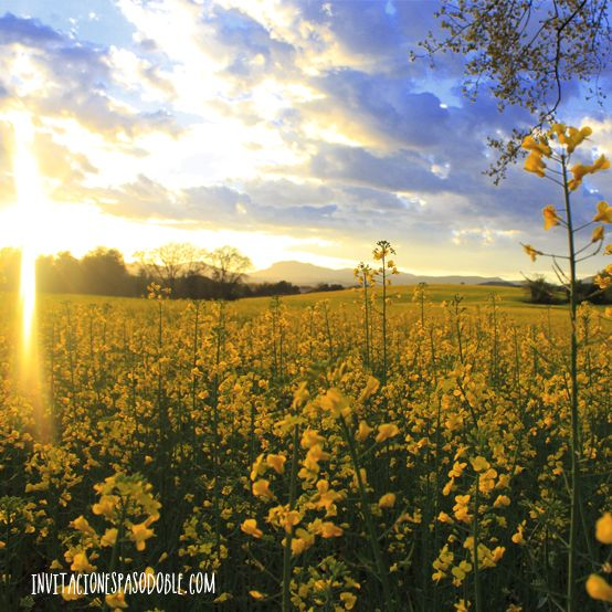 Campo de flores amarillas #primavera #floresamarillas