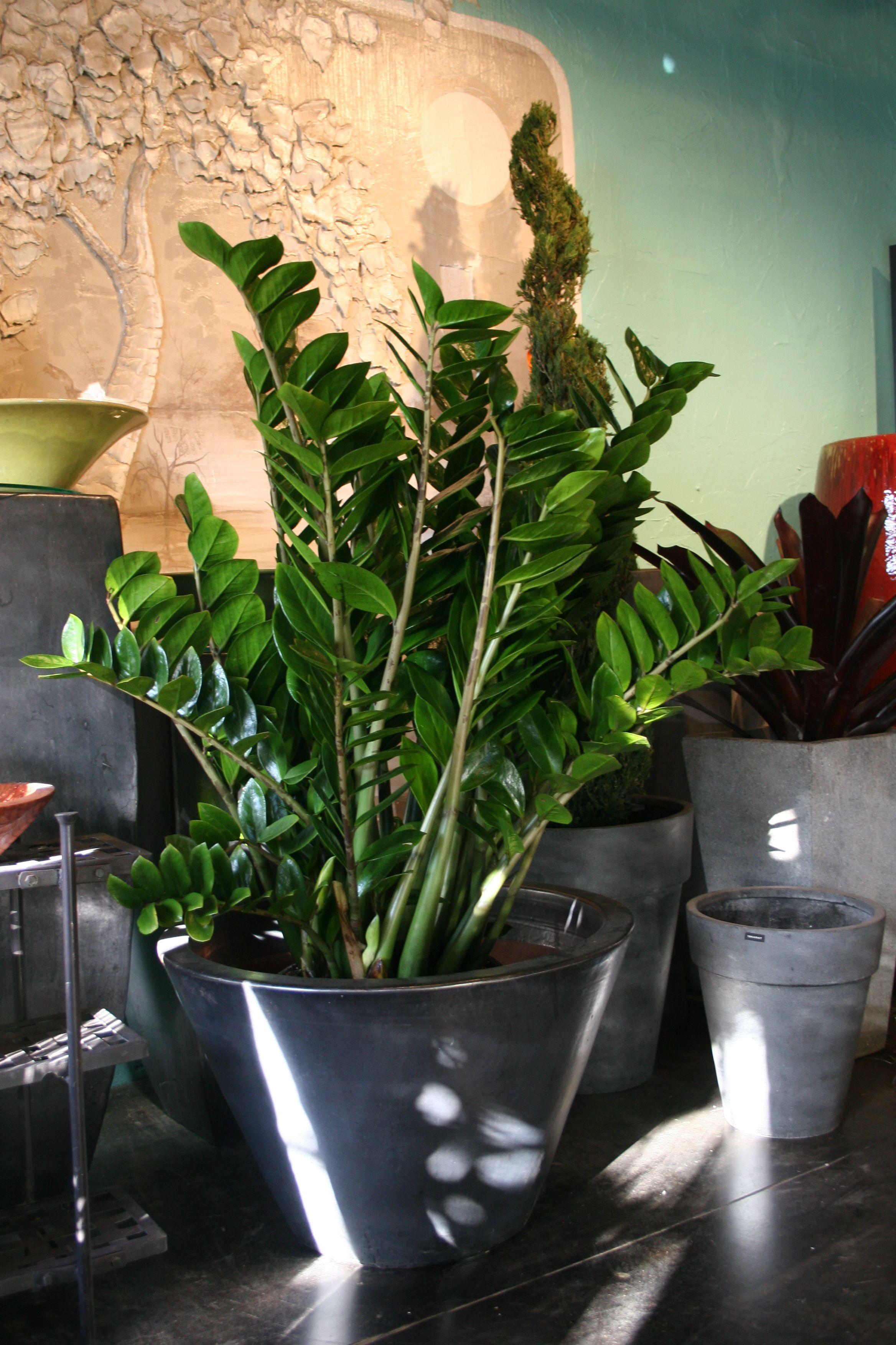Zz Plant, Gray Pot I Want It