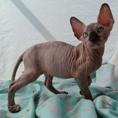 The Sphynxs Meow A Bare Meow Sphynx Kittens For Sale New Mexico Sphynx Colorado Sphynx Arizona Sph Sphynx Kittens For Sale Hairless Kitten Kitten For Sale