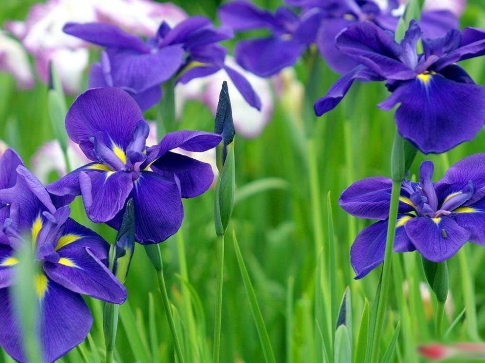 The iris is the national flower of France and is