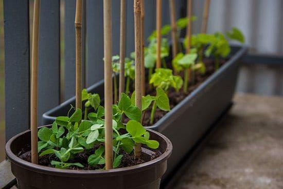 How To Grow Peas In Pots In Balcony, Patio & Even Indoors