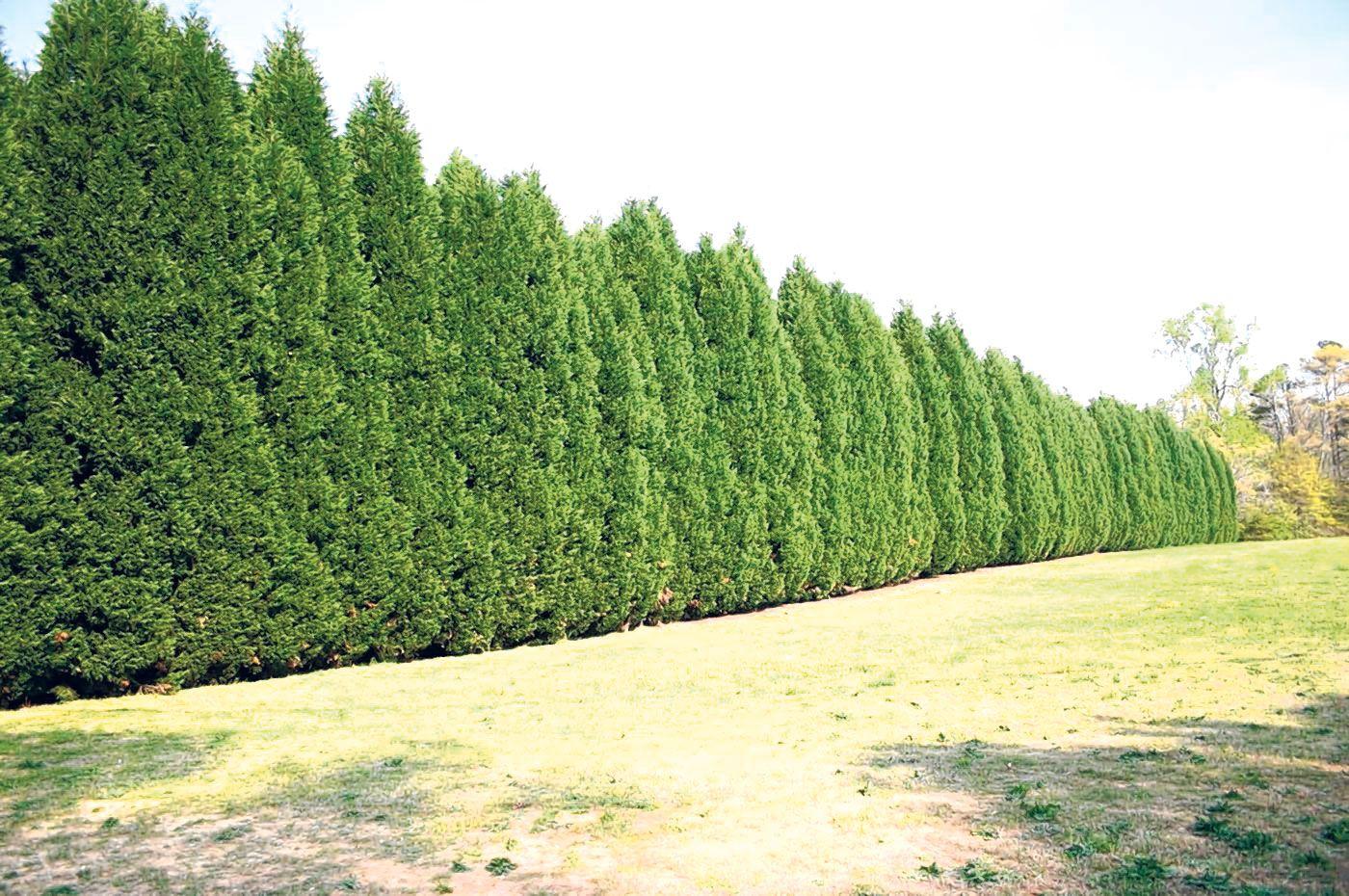 Proper spacing needed for Leyland cypress hedge | Backyard ...