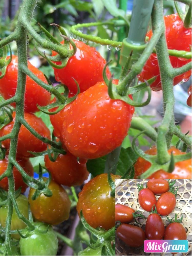 ミニトマトの投稿画像 By そらみさん Kagome Gabaリッチトマトと