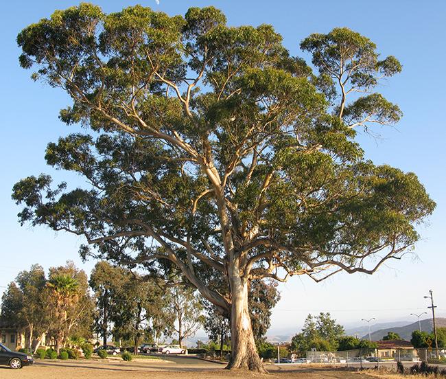 Blue Gum Tree Seeds Seeded Eucalyptus Eucalyptus