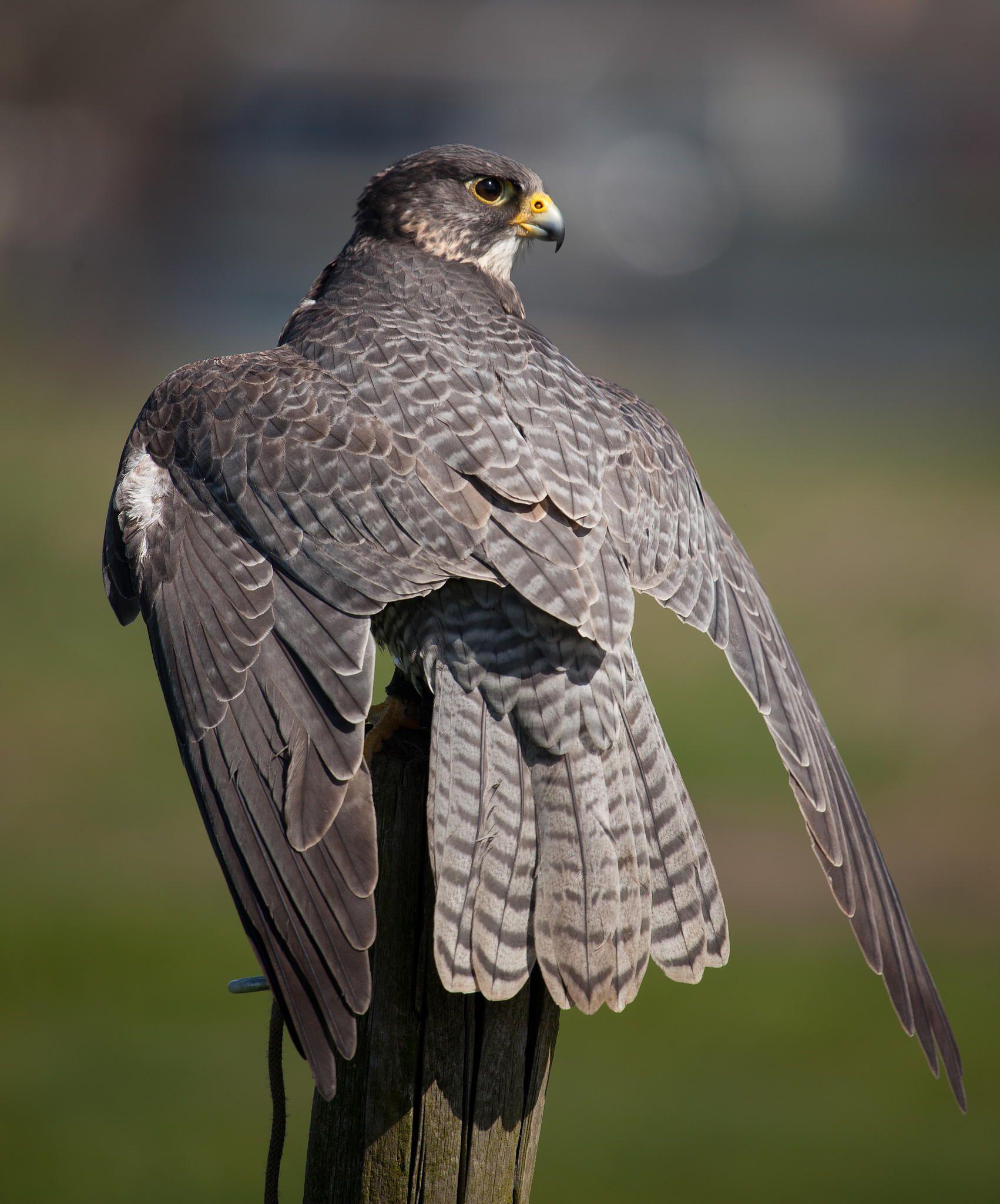 Фото хищных птиц россии с названиями