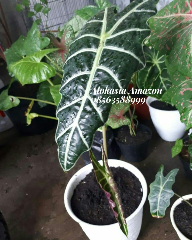 Jual Alokasia Amazon Tanaman Anggrek Amazon