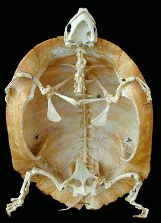 Turtle skeleto... | Anatomía vet | Pinterest | Anatomía, Taxidermia ...