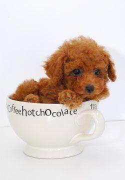 poodle tea cup